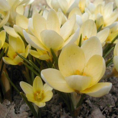 crocus-chrysanthus-romance