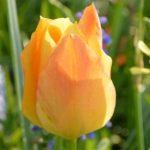 Botanische tulp