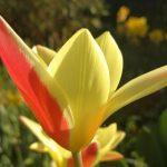 botanisch tulpje clusiana tinka