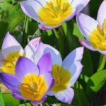 botanisch tulpje lilac wonder
