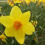 Narcis brackenhurst