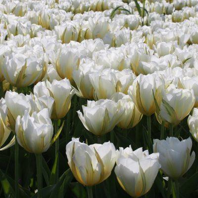 Tulipa White Valley/Exotic Emperor